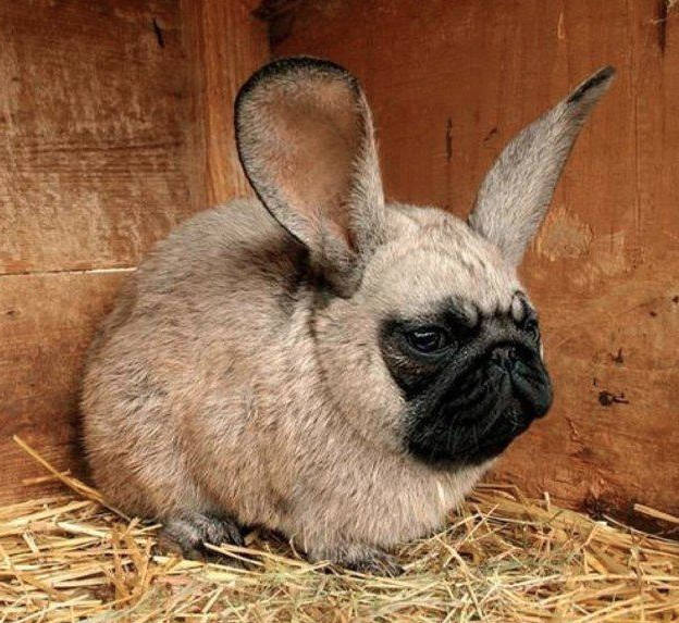 pug-bunny